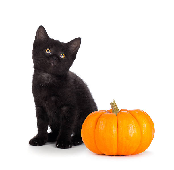 Cute black kitten and mini pumpkin isolated on white picture id516017081?b=1&k=6&m=516017081&s=612x612&w=0&h=77c3quun0ljeanhn81sg89tqngnclznjsmlog8ssnpo=