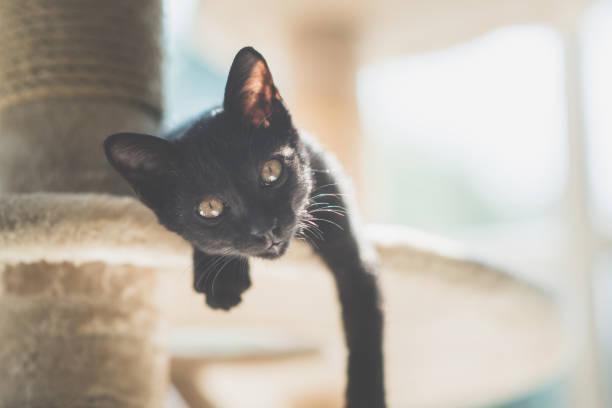 Cute black kitten lying on cat tower and looking at camera picture id927402398?b=1&k=6&m=927402398&s=612x612&w=0&h=uidh6kciy1il4bn fbyppe3ximbu8fiyxtnidp9qake=