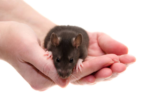Cute black laboratory rat baby in human hands Cute black laboratory rat baby in human hands (isolated on white), selective focus on the rat paws and human fingers animal testing stock pictures, royalty-free photos & images