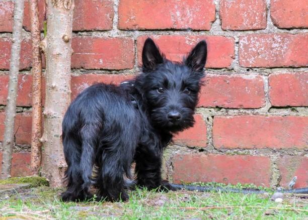 Cute black puppy dog standing by red brick wall. stock photo