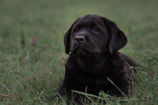 Horizontal shot of cute black puppy Labrador Retriever on a background of green grass