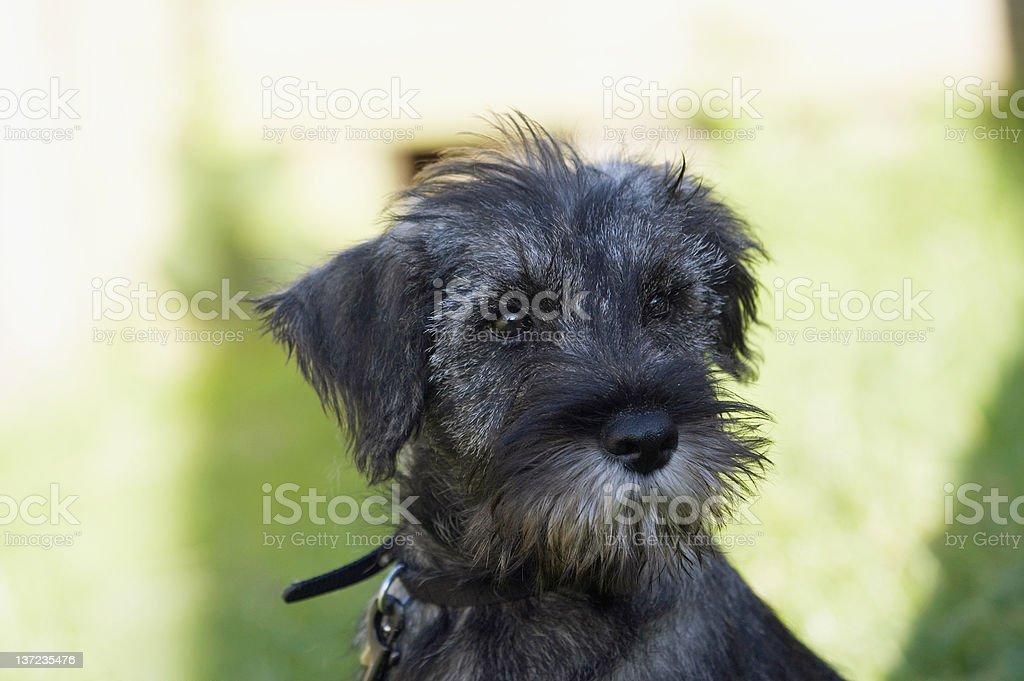 Cute black puppy royalty-free stock photo