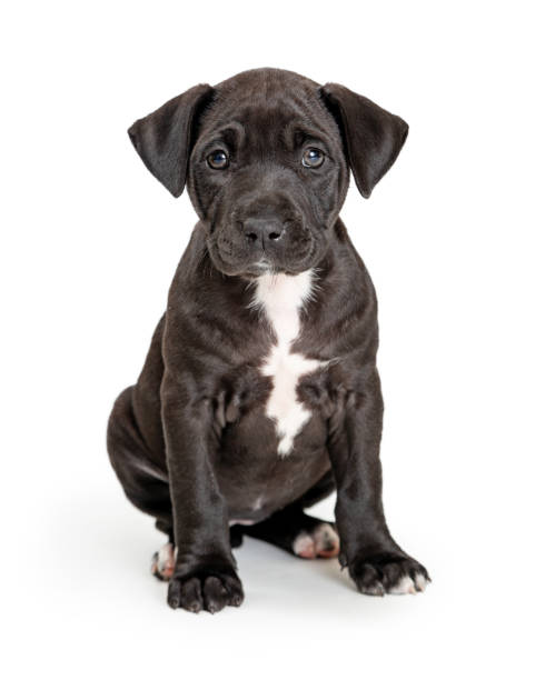 Cute Black Puppy With White Chest Sitting stock photo