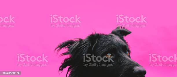 Cute black sheepdog against a pink background picture id1040535180?b=1&k=6&m=1040535180&s=612x612&h=tnrrd 3gnosec1pdxjw0annuajfq4ps64qs0al6dwny=