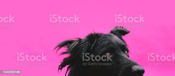 Cute black sheepdog against a pink background picture id1040535180?b=1&k=6&m=1040535180&s=612x612&h=tnrrd 3gnosec1pdxjw0annuajfq4ps64qs0al6dwny=