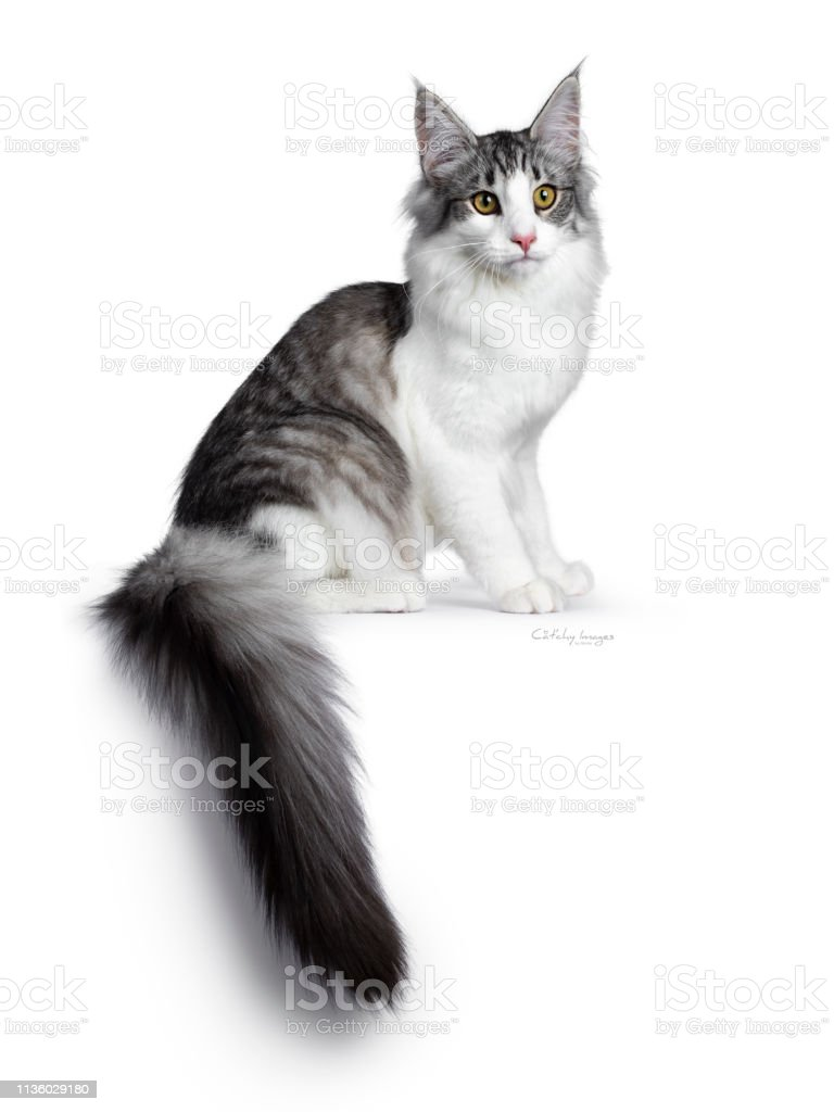 Cute Black Silver Bicolor Spotted Tabby Norwegian Forest Cat Kitten Sitting Side Ways On Edge Looking At Camera With Green Yellow Eyes Isolated On White Background Tail Hanging Fown From Edge Stock