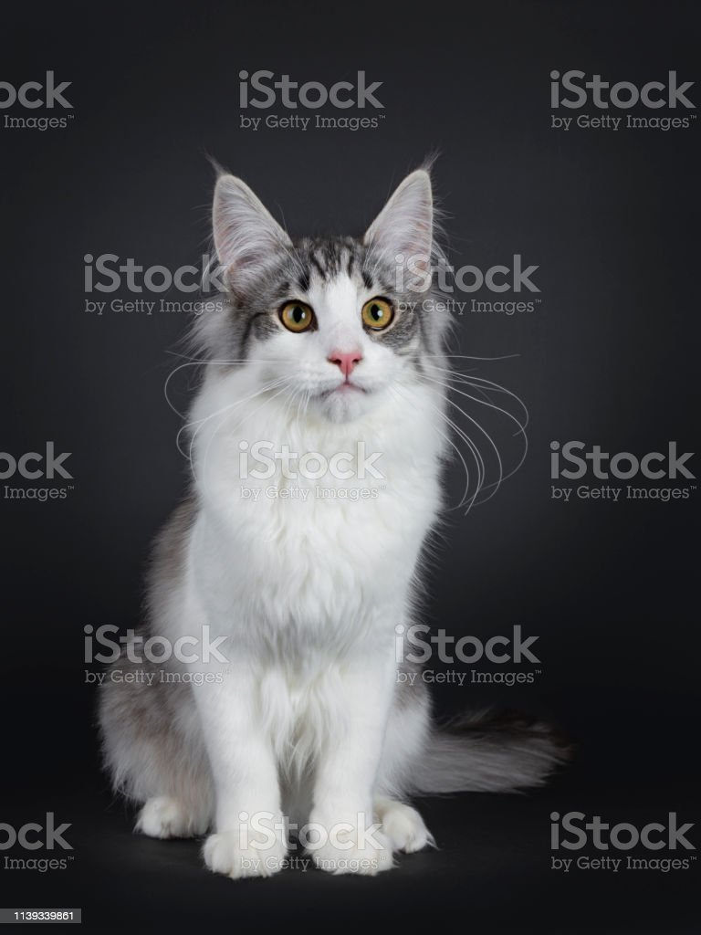 Cute Black Silver Bicolor Spotted Tabby Norwegian Forest Cat Kitten On White Stock Photo Download Image Now Istock