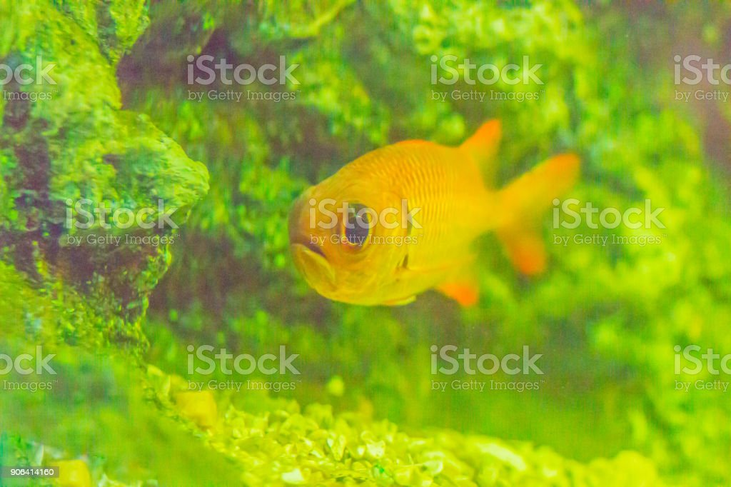 Cute Blotcheye soldierfish (Myripristis murdjan) is swimming in aquarium. Myripristis murdjan is a species of soldierfish found in the Indo-Pacific. stock photo