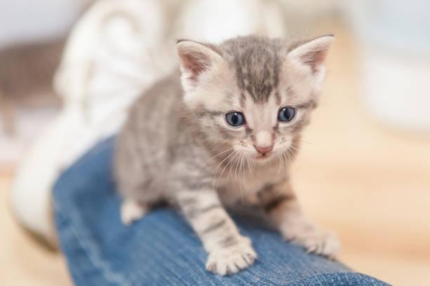 süße blauäugige tabby kitten auf jeans - grau getigerte katzen stock-fotos und bilder