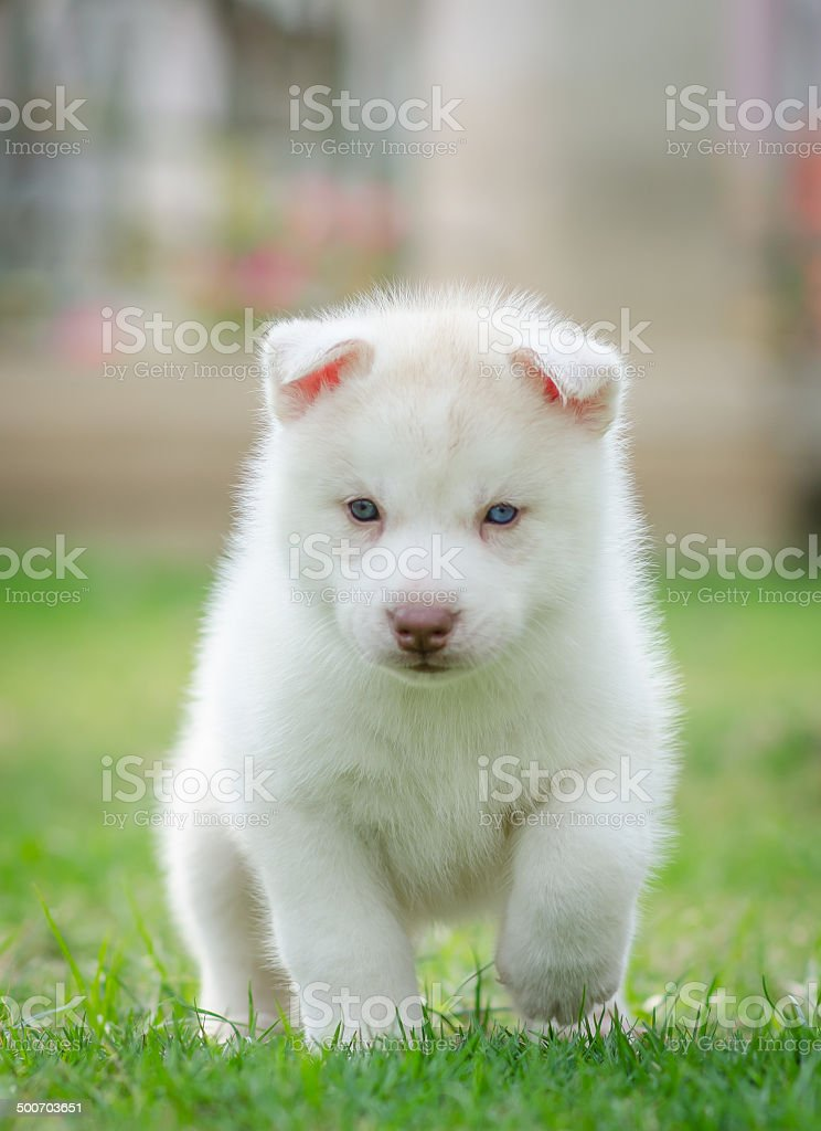 Cute Blue Eyes Puppy Stock Photo Download Image Now Istock
