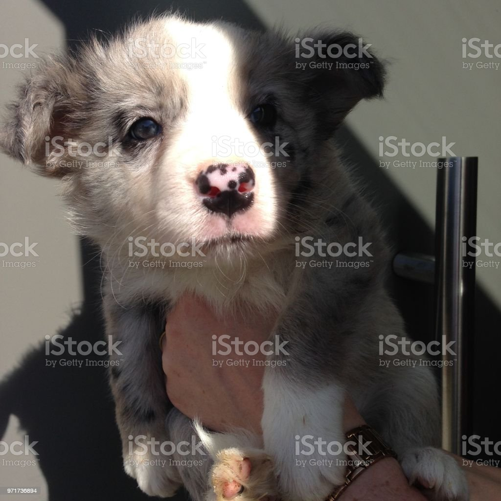 Cute Blue Merle Border Collie Puppy Stock Photo Download Image Now Istock