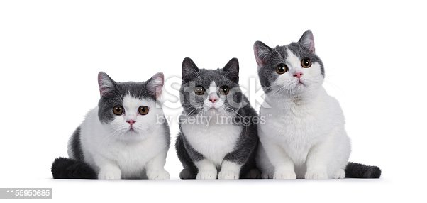 824824466 istock photo Cute blue white British Shorthair kittens on white 1155950685