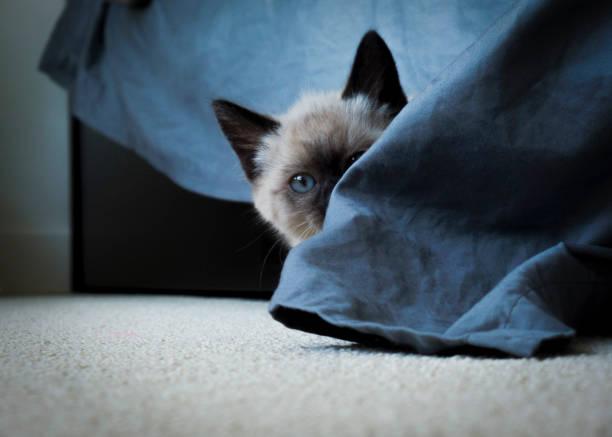 Süße blauäugige Kätzchen versteckt – Foto