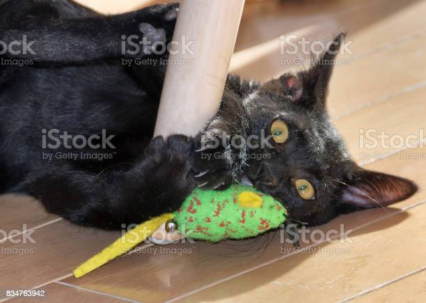 Cute bombay kitten with toy picture id834763942?b=1&k=6&m=834763942&s=612x612&h=lqpunyzhmycoj9wck7jwmewwtrhqygaolfe1x191mh0=