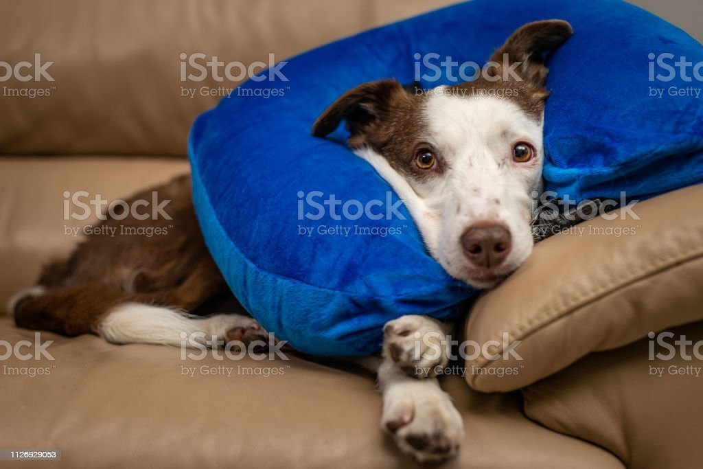 Cute Border Collie dog on a couch, wearing blue inflatable collar stock photo