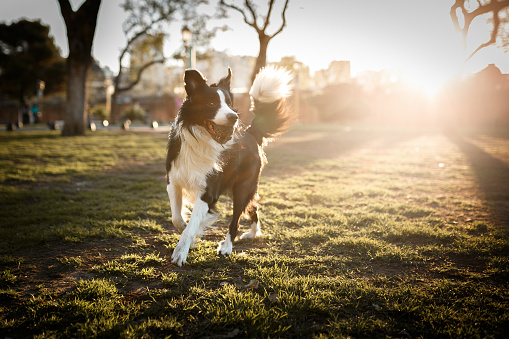 Cute border collie dog playing with ball at sunset