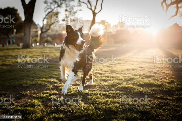 Cute border collie dog playing with ball at sunset picture id1062943574?b=1&k=6&m=1062943574&s=612x612&h=twr0qqkpvsn9nwgpuyf8lp3pe6buzydlnv9wu6acmio=