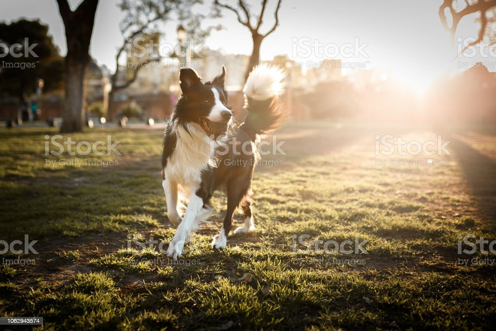 Cute border collie dog playing with ball at sunset stock photo