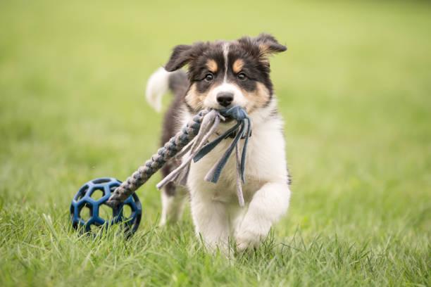Cute Border collie Hund Welpe läuft glücklich mit einem Spielzeug und spielt – Foto
