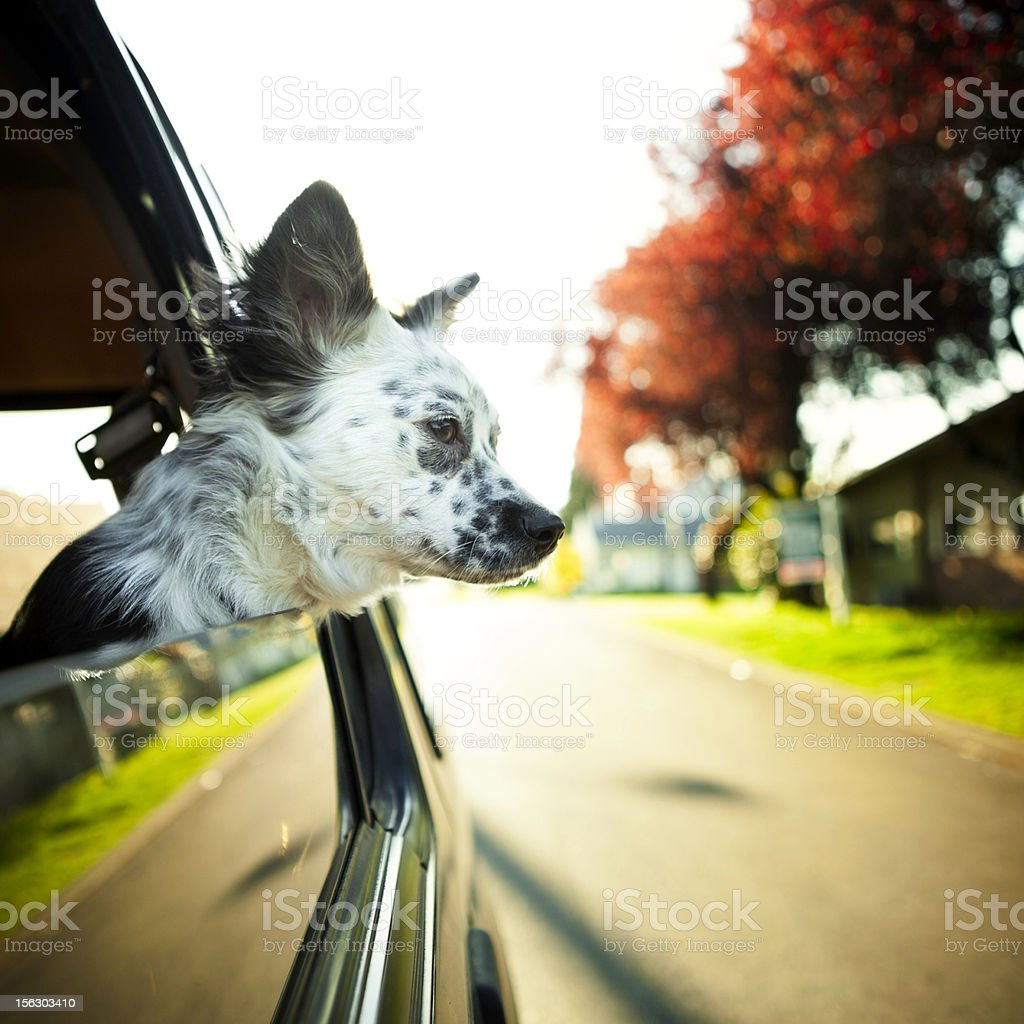 Cute Border Collie Mix Dog in Car stock photo