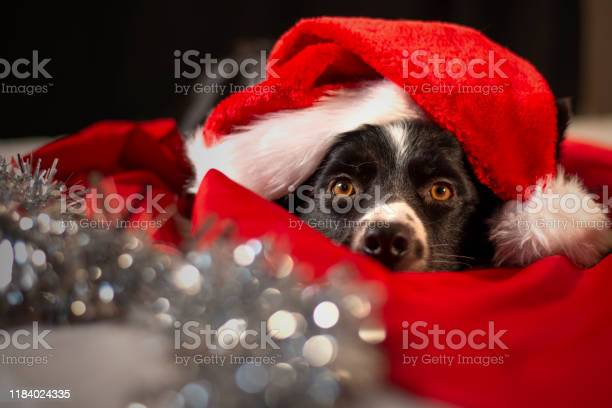 Cute border collie puppy lying between the red and white sheets with picture id1184024335?b=1&k=6&m=1184024335&s=612x612&h=kt2lfsdgpdkp7nqusz4cflpir 7otemosb 3soh jfm=