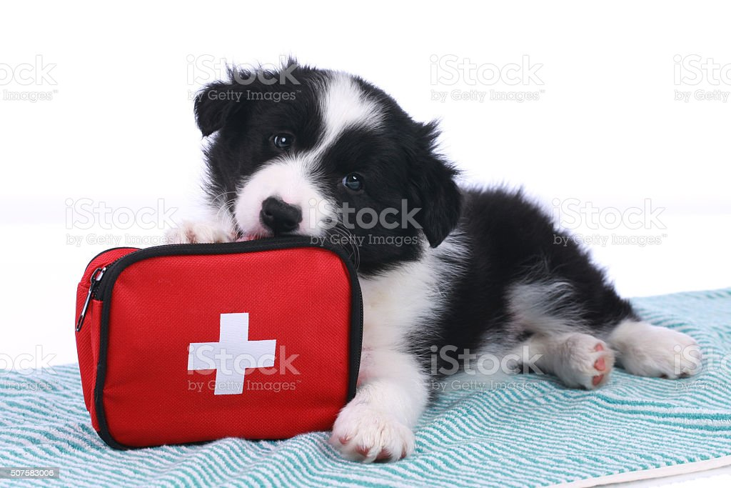 Cute border collie puppy with an emergency kit stock photo