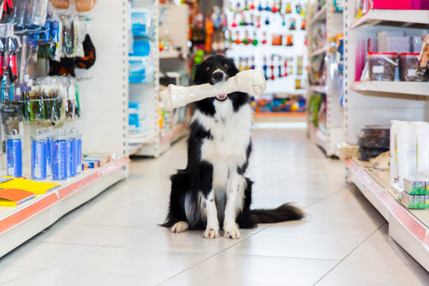 Cute Border Collie with big pet bone in a pet store stock photo