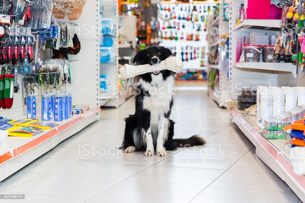 Cute Border Collie with big pet bone in pet store stock photo