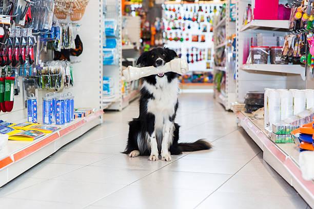 Joli Frontière Collie avec gros os de magasin pour animaux de compagnie Les animaux de compagnie - Photo