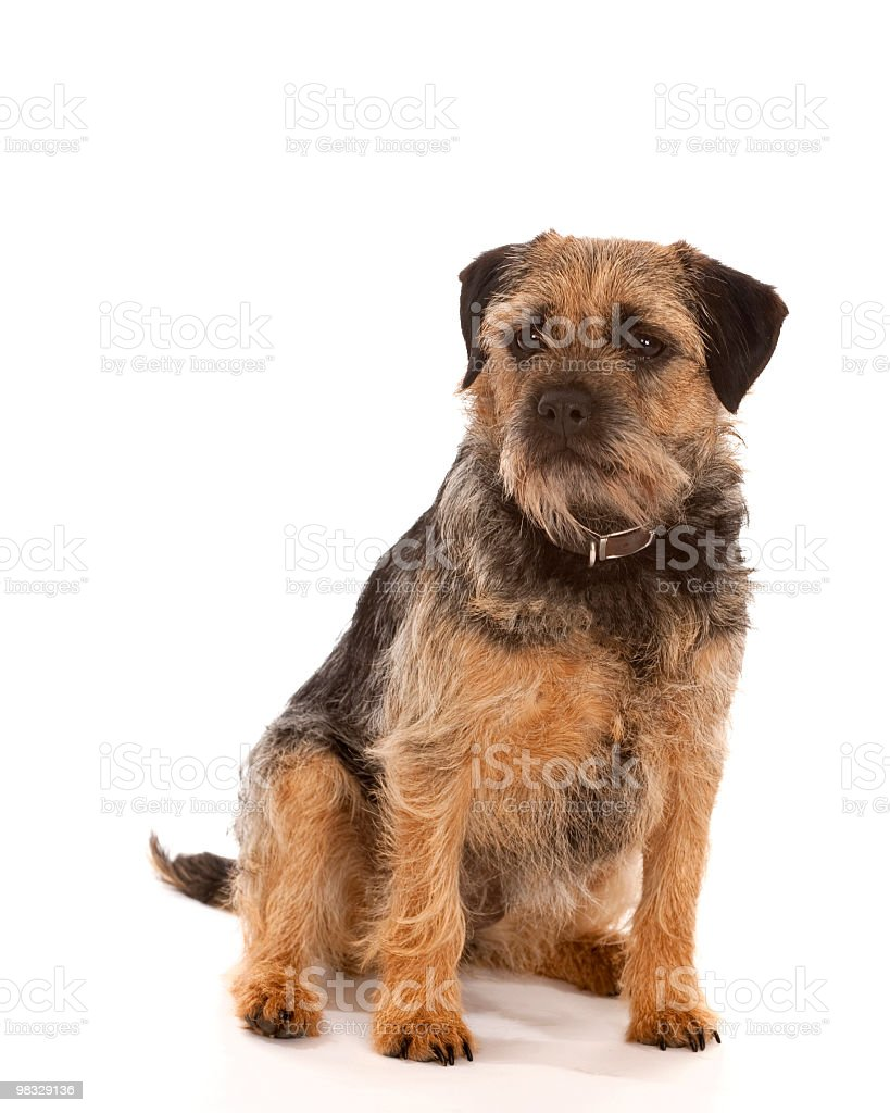Cute Border Terrier sitting royalty-free stock photo
