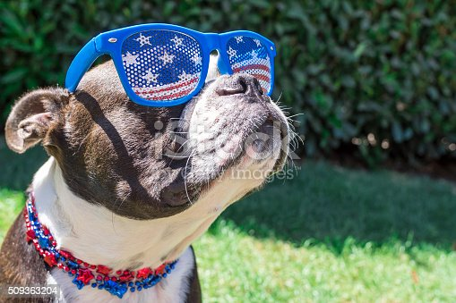 509363072 istock photo Cute Boston Terrier Dog Wearing Fourth of July Sunglasses 509363204