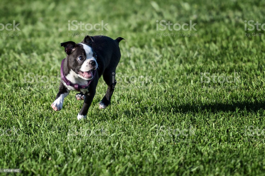Lindo Boston Terrier en campo verde - foto de stock