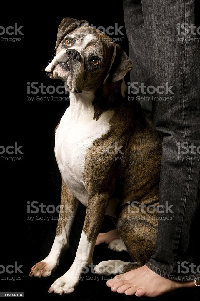 Cute Boxer Dog Sitting Between Feet stock photo