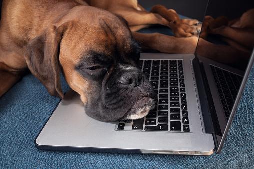Dog felt asleep while working on laptop.