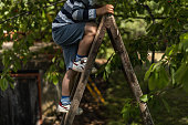 Cute little boy climbing on ladders to pick up fresh cherries from tree