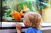 Cute boy looking on colorful aquarium fishes in fish tank, carassius auratus