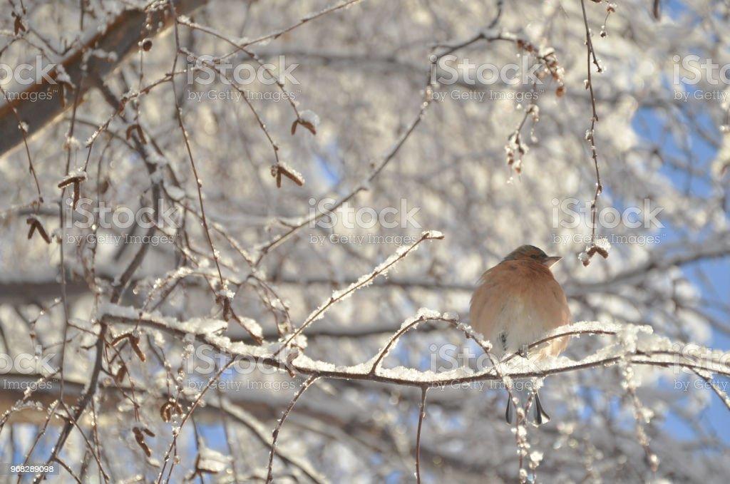 Lindo pájaro Pinzón descansando en las ramas de los árboles nevados, Lake Tekapo. - foto de stock