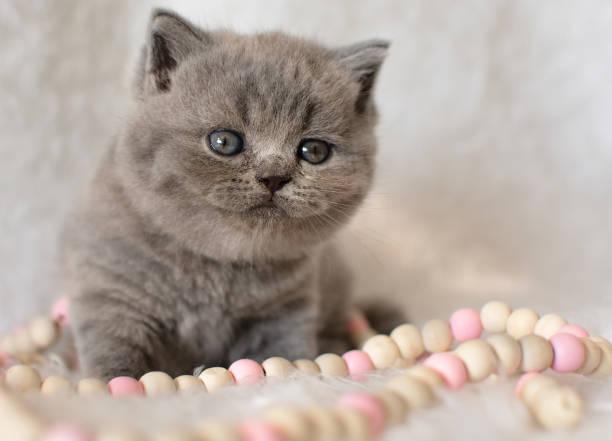 süße britische blaue kätzchen mit perlen sitzt auf einem leichten pelz teppich. - kurze haare flechten stock-fotos und bilder