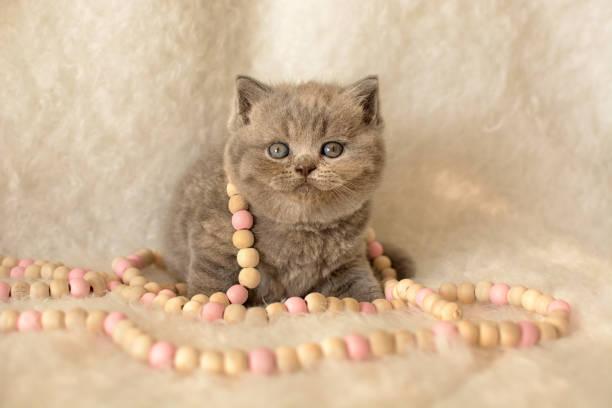 süße british blau kätzchen mit perlen sitzt auf einem hellen fell teppich. - kurze haare flechten stock-fotos und bilder