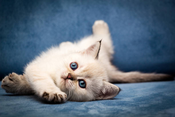 Cute British kitten BRI n 33 seal point color with blue eyes funny lay down stock photo