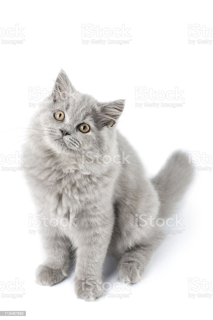 cute British kitten isolated royalty-free stock photo