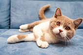 istock A cute British lilac white bicolour cat is lying on a blue sofa 1092587292