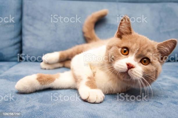Cute british lilac white bicolour cat is lying on a blue sofa picture id1092587292?b=1&k=6&m=1092587292&s=612x612&h=usxgrxzrdhkqjf32xbca o7j9hlbwhvuyw23mhrlfgo=