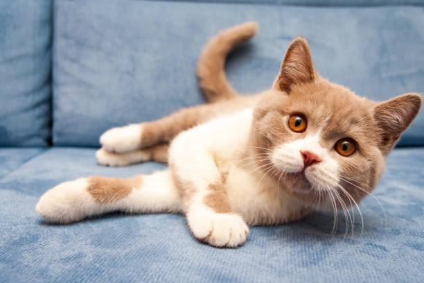 a cute british lilac white bicolour cat is lying on a blue sofa - котик яркий стоковые фото и изображения