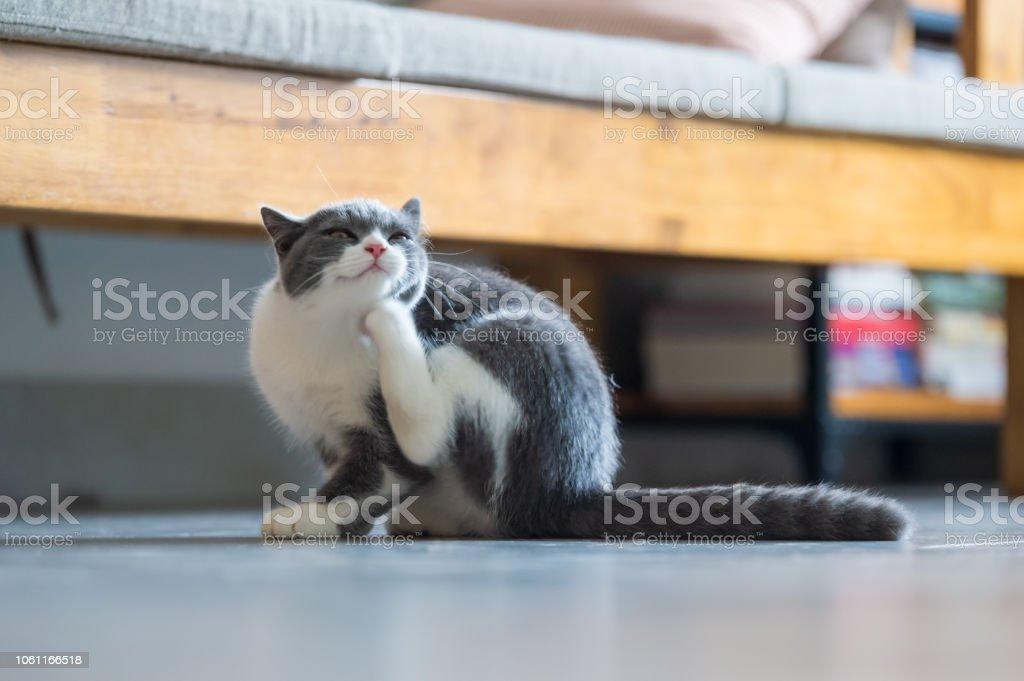Cute British short hair cat kitten stock photo