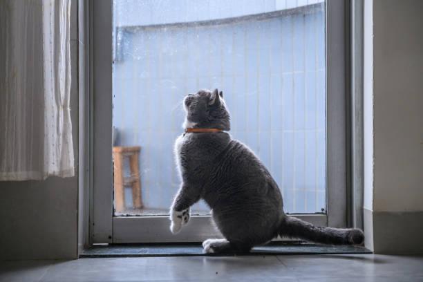 Cute british short hair cat shot indoors picture id1018692492?b=1&k=6&m=1018692492&s=612x612&w=0&h=sjv1vz7yibdmy2duobxwwcnxqkrgbi8vdzgmqkc33w4=