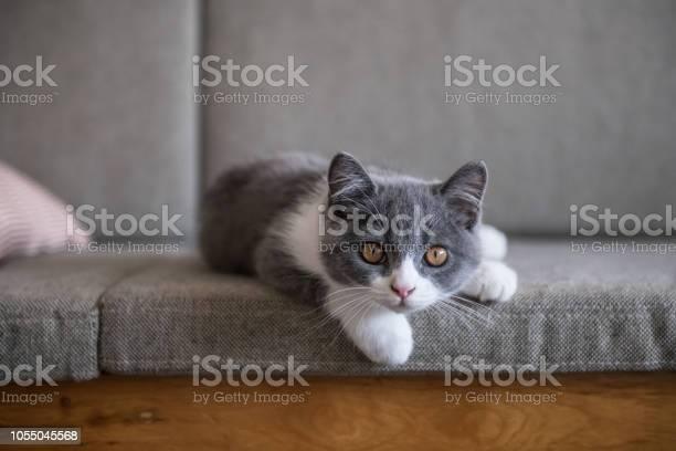Cute british short hairy cat picture id1055045568?b=1&k=6&m=1055045568&s=612x612&h=rqdhmavsonkrwegcoswj jsxdq7nlr9k9hyey y7v9w=