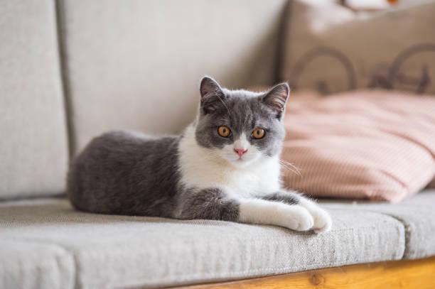 Gato peludo curto britânico bonito - foto de acervo
