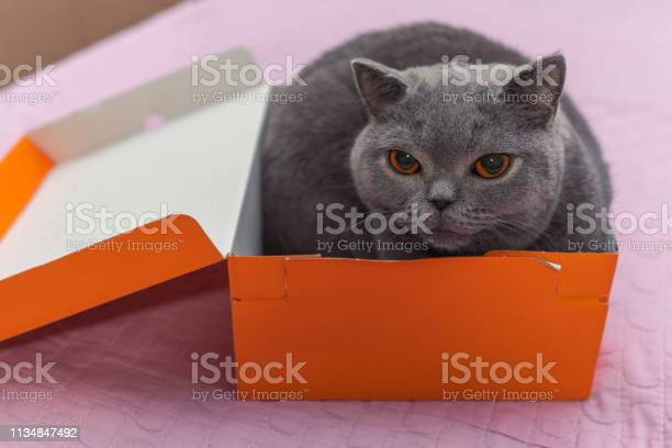 Cute british shorthair cat resting in a box picture id1134847492?b=1&k=6&m=1134847492&s=612x612&h=ylhgqvk nywzddnevcmdny29rsnhwwcke59y1tm8dfi=