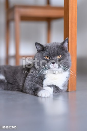 Cute British Shorthair Indoor Shot Stock Photo & More Pictures of Animal